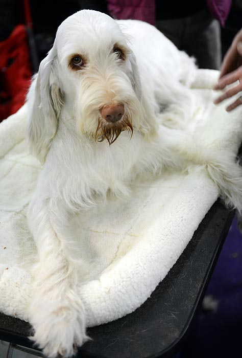 A dog relaxes in its bed Monday before beginning competition in the dog show.