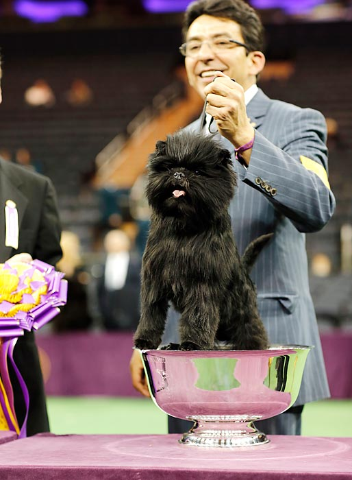 Best in show winner Banana Joe, an Affenpinscher, stands inside his trophy after winning the 137th annual Westminster Kennel Club dog show. Banana Joe won the Toy Group before beating out the other group champions for best in show.