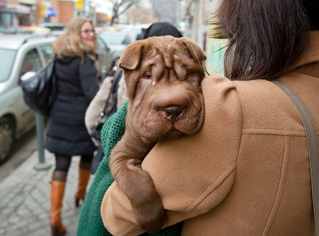 That's a pretty Shar Pei puppy she's got there in Bucharest. That pooch belonged in the recently concluded Westminster Dog Show.