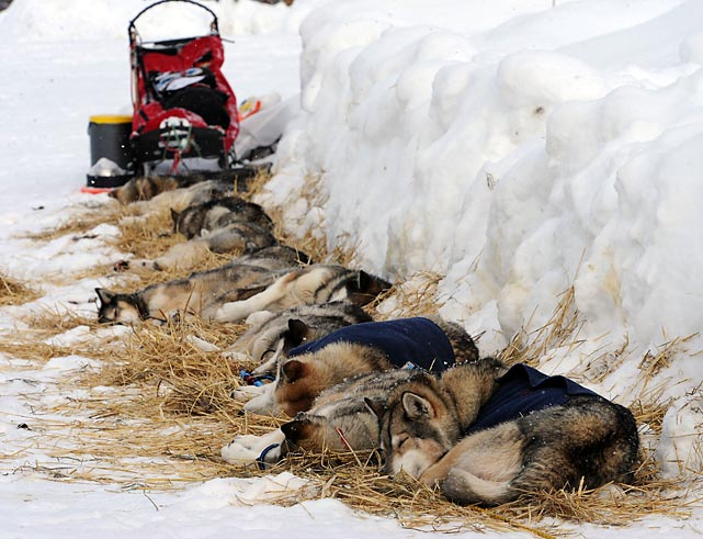Dog tired. And who can blame them? Weary pooches take their rest after this year's recently-concluded edition of Alaska's famed trail sled dog race, won by Mitch Seavey and his canine cohorts in a time of 9 days 7 hours 39 minutes. The grand prize: a lifetime supply of mush.