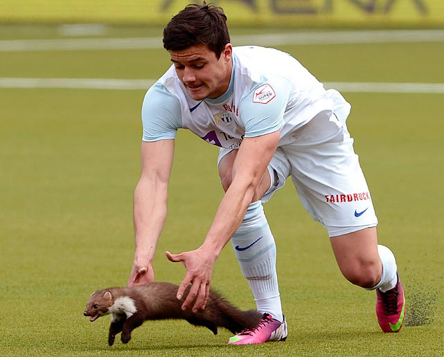 To his regret, Zurich's Loris Benito tried to corral a wily marten that took to the pitch during a match against FC Thun. Benito discovered what scientists have long known: martens love finger food.