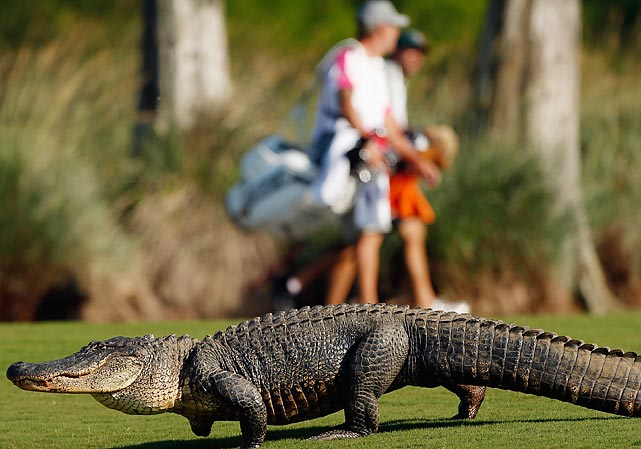 Golfers at the Zurich Classic in Avondale, La., had an unusual alligator hazard on the 14th fairway.
