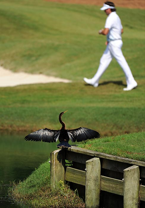 An Anhinga stayed far away enough not to ruffle Bubba Watson's feathers at The Players Championship.