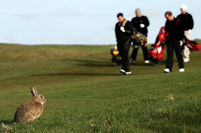 An unstartled rabbit stands its ground at Bull Bay Golf Course in Amlwch, Wales.
