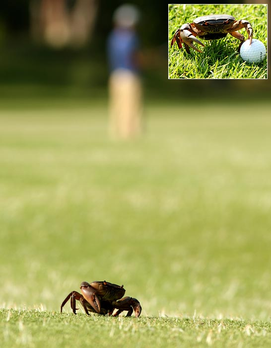 A crab enjoyed a stroll at Royal Johannesburg and Kensington Golf Club in Johannesburg, South Africa.