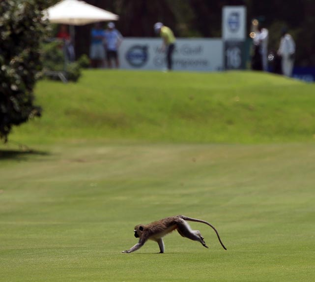A monkey runs across a fairway in Durban, South Africa.
