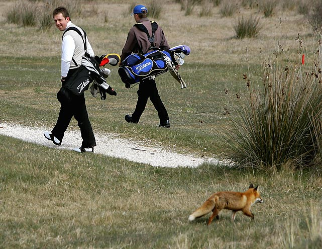 A golfer glances at a fox in Saunton, England.