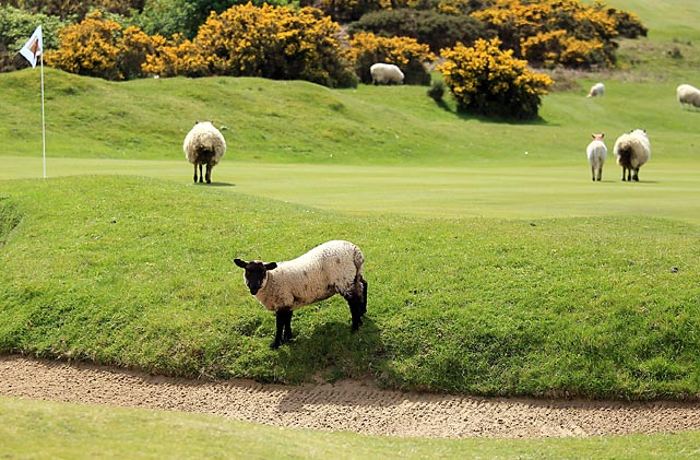 Sheep roam around the course at Southerndown Golf Club.