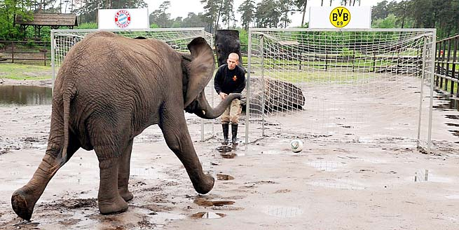 Only Nelly the elephant in Hodenhagen picked Bayern Munich to win.