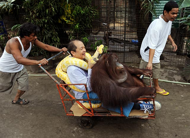 That would be the orangutan. We kid you not. Malabon Zoo owner Manny Tiangco (with albino python around his neck) bestowed the famed pug's moniker upon his pet, who is seen here serenely enjoying a cart ride on the zoo's premises in suburban Manila.