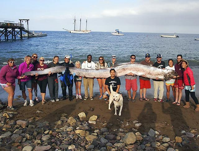The crew of the sailing school vessel Tole Mour and folks from Catalina Island Marine Institute proudly display the carcass of an 18-foot-long oarfish that was found in Toyon Bay, California, by an instructor enjoying a leisurely snorkel. The massive eel-like creature is a rare species believed to be the inspiration big fish tales and other salty legends.