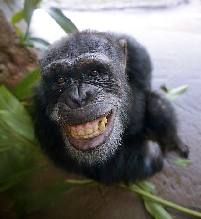 This denizen of the Houston Zoo concludes our monkeying around for this week. Join us again next week as we continue our chimpin' of offbeat imagery and incomprehensible captions.