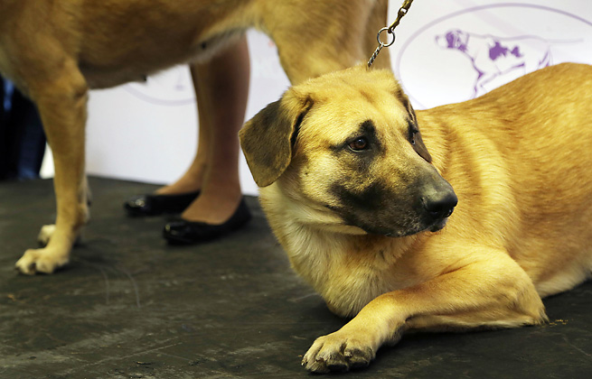 The chinook is one of three new breeds that will compete at the 138th Westminster Dog Show.