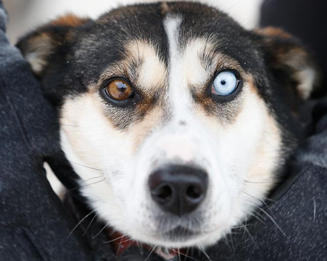 Spanning nearly 400 miles, the John Beargrease Sled Dog Marathon is the longest sled dog marathon in the continental United States.