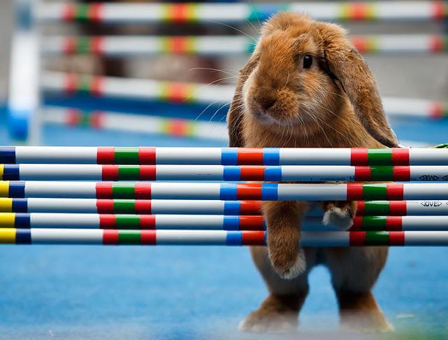 Now that his heaviest workday of the year is behind him, the famed Easter Bunny has gone back to his rigorous training at the Old Town Square in Prague. The sport of rabbit jumping is popular in northern Europe where E. Bunny has gone to seek a lucrative career in track and field with an eye on the 2016 Olympics.