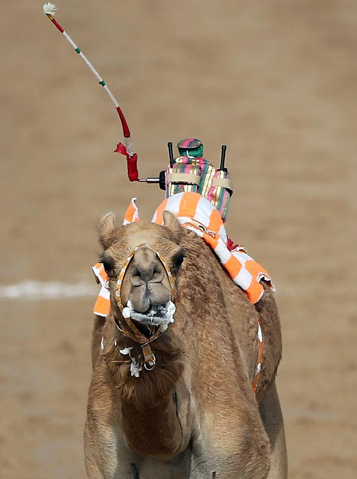 <italics>Vroom vroom Al Marmoom:</italics> A filtered camel is flogged on to glory by a robot jockey at the Al Marmoom Camel Racetrack in Dubai. The festival promotes the region's traditional sport and there's nothing more traditional than robot jockeys.