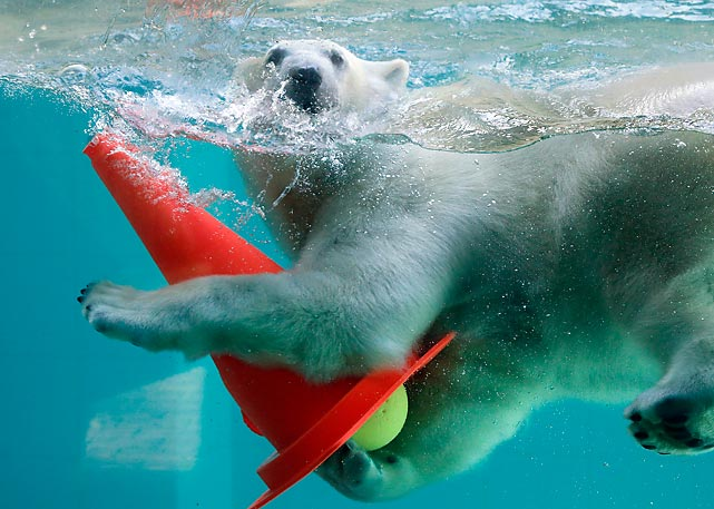 Meanwhile in Wuppertal, Germany, a northern relative of the inspiration for the iconic beer logo was on display. According to scientists, as sea ice advances and retreats each year, some polar bears travel thousands of miles, thus their natural attachment to traffic cones, which they rely on for navigation.
