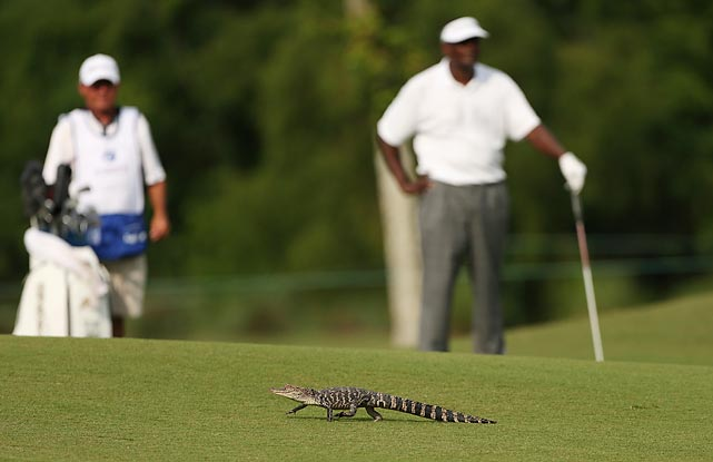 How's bayou? Well, Vijay Singh had to wait for a wild alligator purse to get out of the way before he could take a shot during the second round of the Zurich Classic of New Orleans at TPC Louisiana.