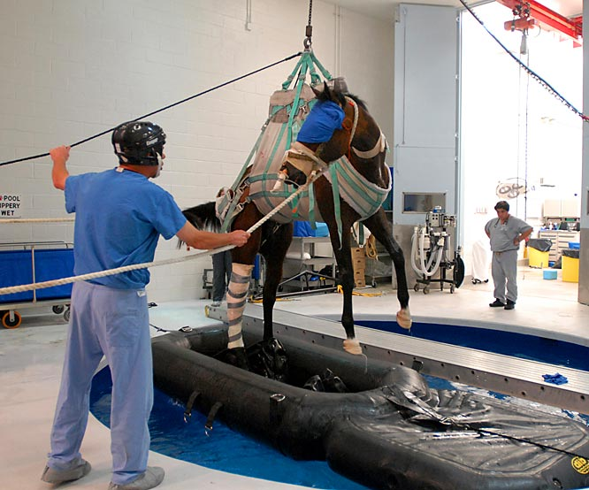 After undergoing surgery for his career-ending injury, Barbaro was held temporarily in a pool at the George D. Widener Hospital for Large Animals at the University of Pennsylvania.