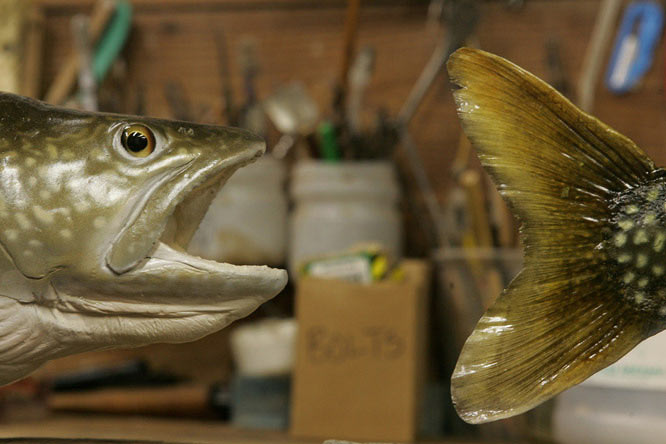 Stuffed fish at Neve Fernando's Taxidermy in Bethel, N.Y.
