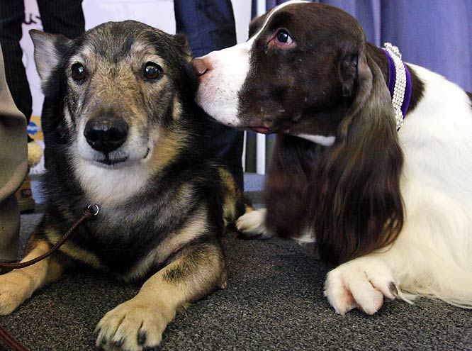 Moose, a Swedish Vallhund (left), and Westminster Kennel Club Dog Show 2007 Best in Show winner James, an English springer spaniel, share a few secrets.