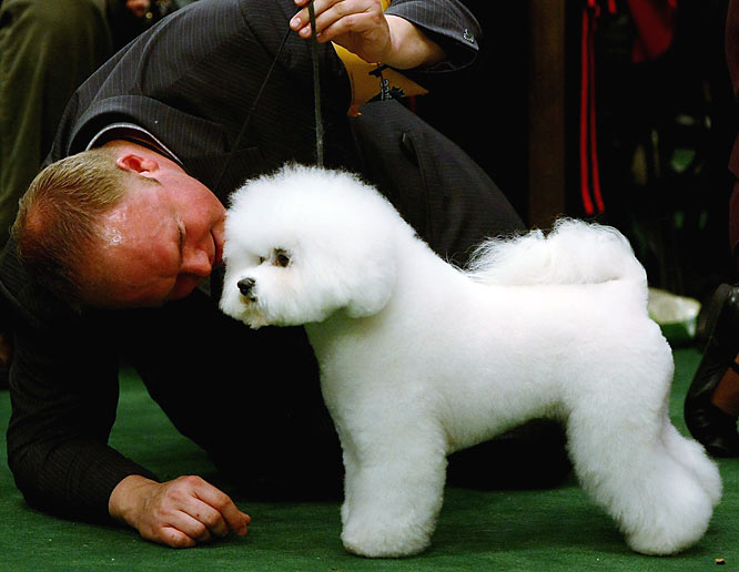 Like overgrown cotton balls, the Bichons Frise last won Best in Show in 2001.