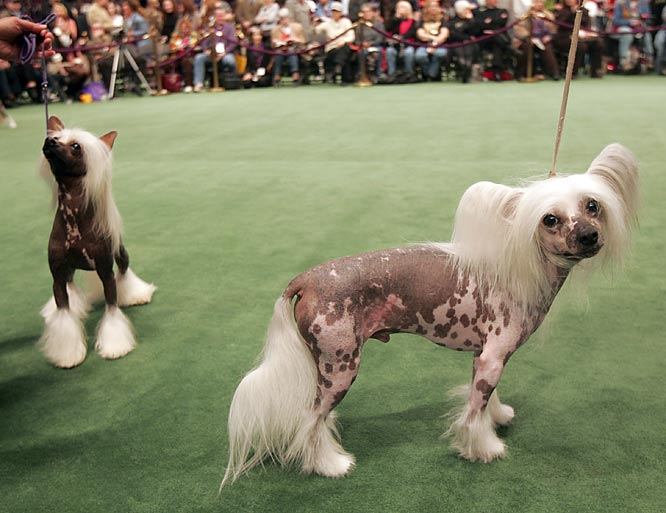 A member of the toy group, the Chinese Crested come in two varieties: hairless and powderpuff.
