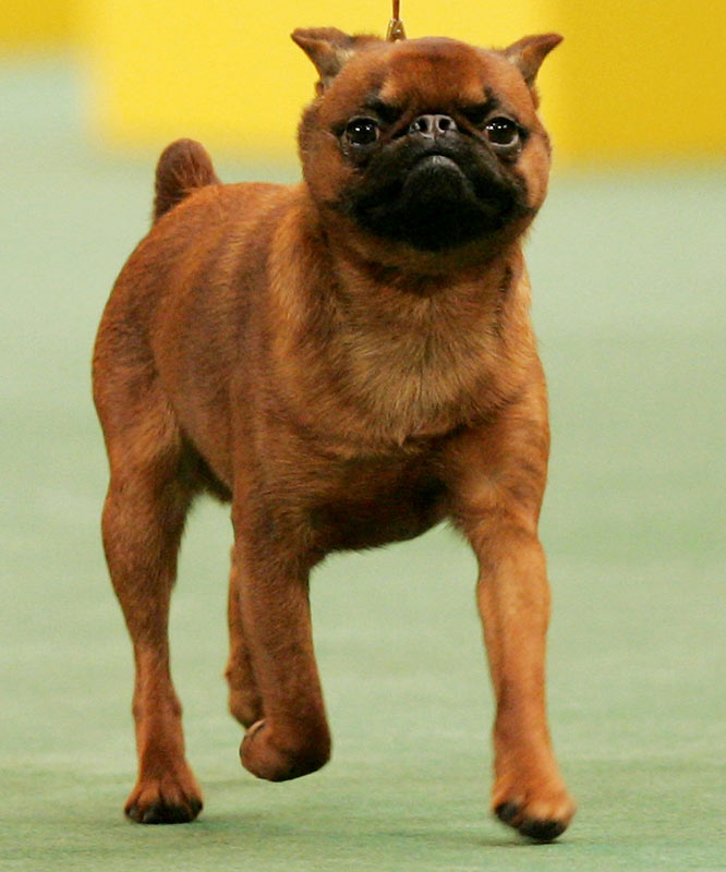 The 4-year-old smooth-coated Brussels Griffon won the ultra-competitive toy group.