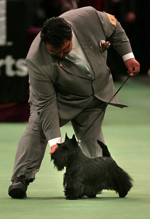 Sadie had all the makings of a champion, including a good-luck charm: her leash was the same one used by the winner of the 1967 Westminster show, a Scottish terrier named Ch. Bardene Bingo.