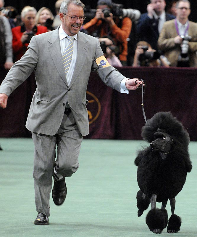 After winning the non-sporting group, Affirmation looked as though she had the B.I.S. competition sealed. But the perfectly coiffed standard poodle fell to Stump.