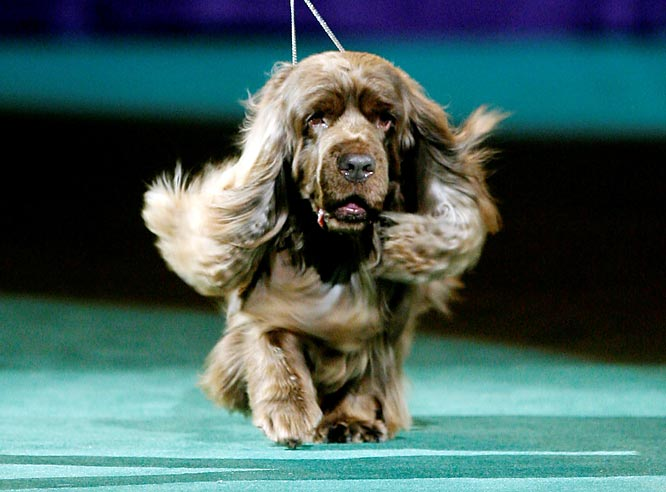 Stump, a 10-year-old Sussex spaniel, became the oldest Westminster champion, and he did so in style. After nearly dying with a bacterial infection in 2004, the floppy-eared pooch came out of retirement to win the crown.