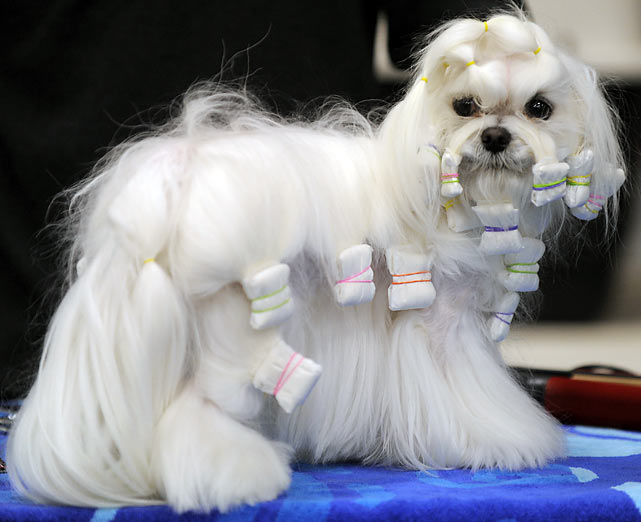 A Maltese waits backstage.
