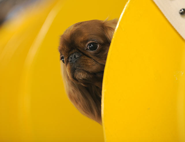 A Toy Spaniel waits in his space during the first day of the 134th Westminster Kennel Club Dog Show.