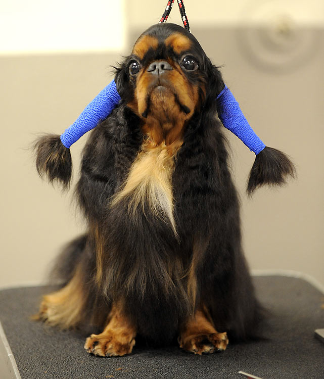 Bouncer, an English Toy Spaniel.