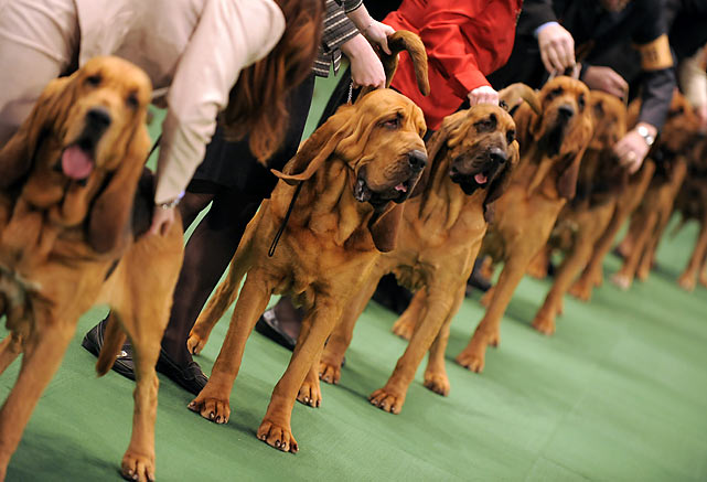 Bloodhounds are lined up in the ring.