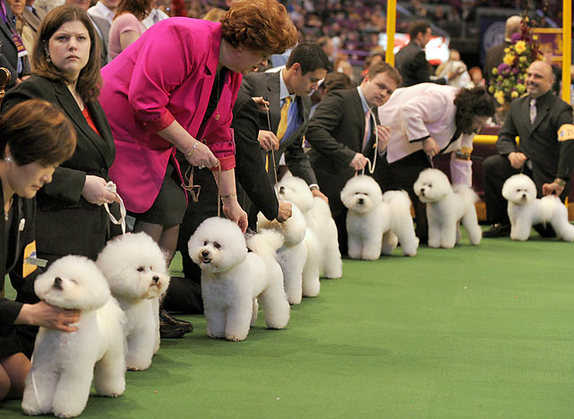 Bichon Frises line up in the ring during the first day of the 134th Westminster Kennel Club Dog Show.