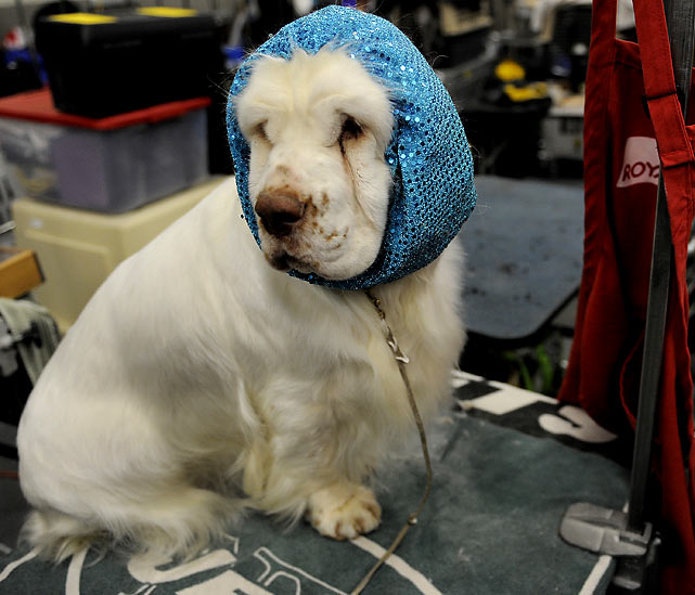 Jennifer, the Clumber Spaniel.