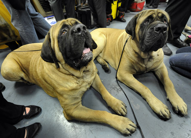 Mastiffs Wilbur and Anchor.
