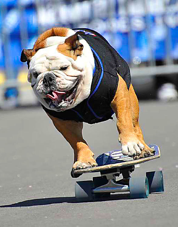 Tillman, the skateboarding dog, skates before a Met game at Citi Field. The 60-pound bulldog, who is also trained to surf and snowboard, is named after the late American football star turned Army Ranger Pat Tillman, who was killed in Afghanistan.