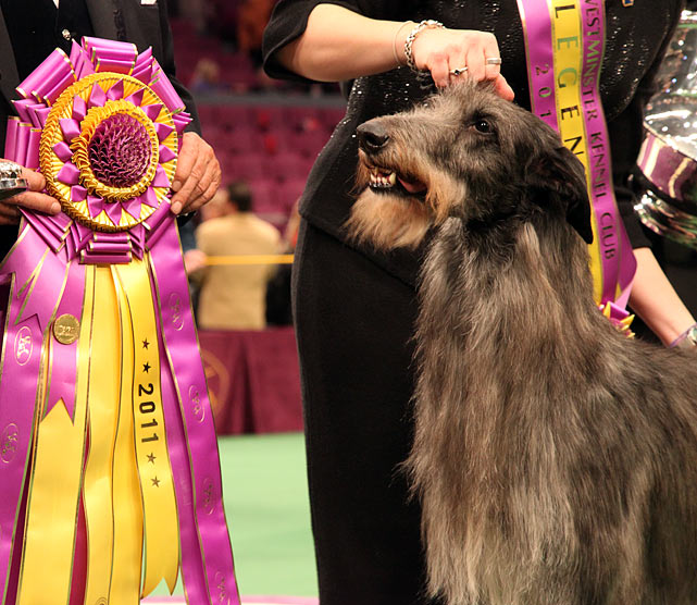 Scottish deerhound Hickory poses for photographers after winning best in show.