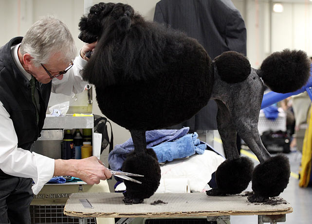 Standard Poodle Grand Champion Longleat Black No Sugar with agent Michael Pawasarat.