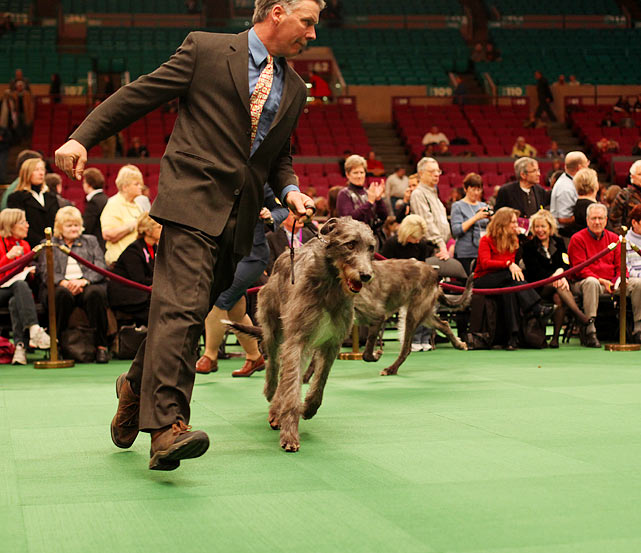 Irish Wolfhounds during Best of Breed Competition.