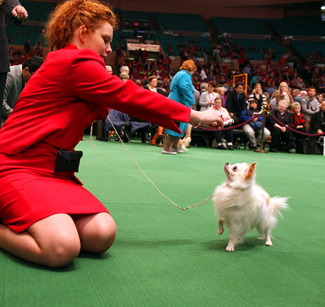 Long Coat Chihuahuas Champion Rafina Tell Tale Heart with Agent Michelle Queen during Best of Breed Competition.