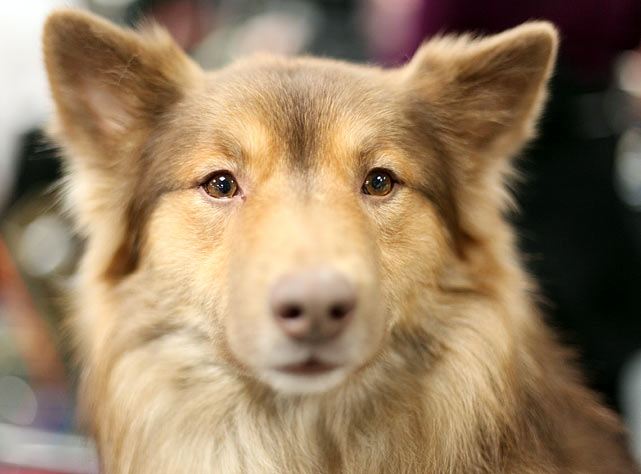 Icelandic Sheepdog Champion Isi Kaffisukkolathi, also known as Kaffi.  The breed is new to Westminster this year.