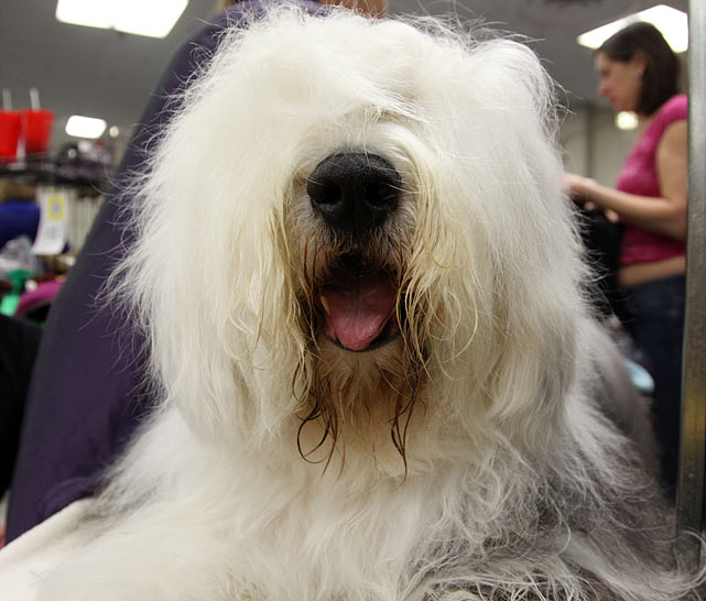 Old English Sheepdog Grand Champion Barkshire's Nick of Time.  This 6 year old from Tehachapi, CA gets brushed by owner Christine Pesche in preparation for Best of Breed Competition.  He has competed four times and won everything except Best in Show.