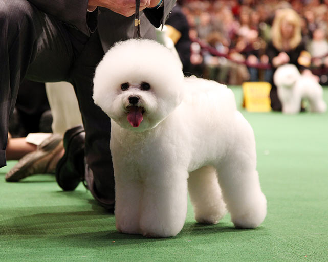 Bichons Frises Champion Whitebreds Kissed by the Moonlight with handler Clifford W. Steele during Best of Breed Competition.