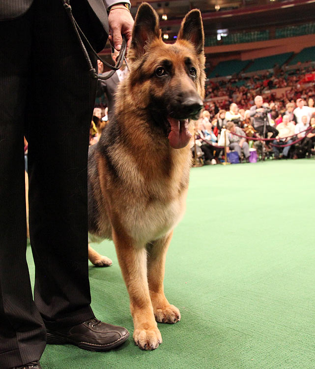 German Shepherd Grand Champion Enchanted's American Thunder during Best of Breed Competition.