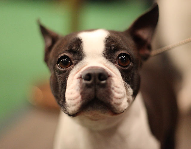 Boston Terrier Grand Champion Sunwoods Grandma's Love, also known as Gertie, after competing in the Best in Breed Competition.