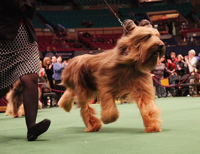 Grand Champion Celebratia Vintageeightyfour, Briard number 19 in Ring 3, won Best in Breed.