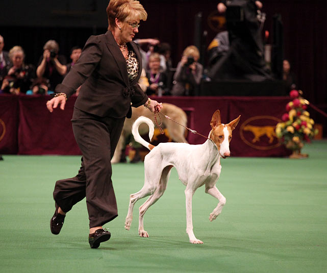 Ibizan Hound Grand Champion Harehill's Ace in the Hole with agent Linda Mattson.